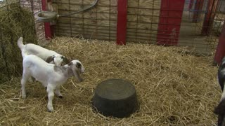 Two Baby Goats Fighting