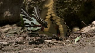 Two Butterflies Doing Mating Dance