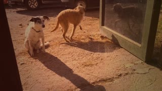 Two dogs on farm vintage video 8mm