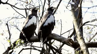 two eagles sitting in tree