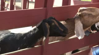 Two Goats sticking Head out of Fence