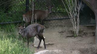 Two Miniature Deer standing on Rocks