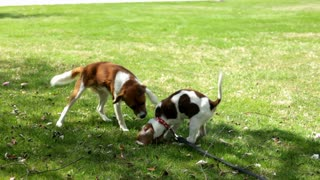 Two puppies playing together part 1