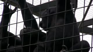 Two young Gorillas hanging on each other