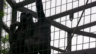 Two young gorillas playing on fence