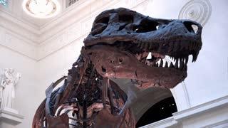 Tyrannosaurus Rex dinousaur skeleton pan shot 4k