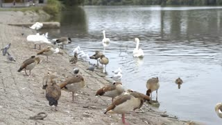 Various birds standing next to water shore in city 4k