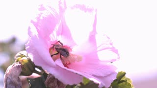 Bee covered in pollen taking off from flower slow motion