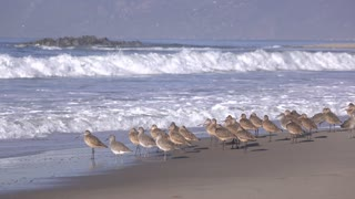 Birds on beach running from waves coming in 4k