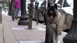 Dog tied to tree on city sidewalk 4k