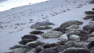 Family of Seals laying on beach sleeping 4k