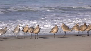 Group of Willet birds on Venice Beach California 4k