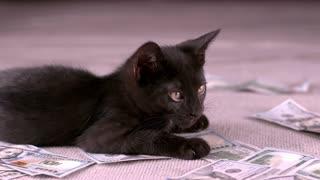 Kitten Licking Lips While Sitting On Money Slow Motion