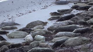 Large group of seals laying on beach in shade near water 4k