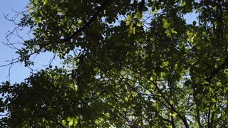Looking up at trees from below while walking on sunny day 4k