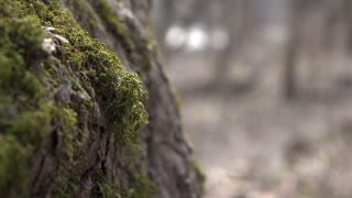 Moss growing on forest tree with person walking in background 4k