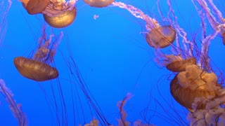 Relaxing and mesmerizing jelly fish swimming in water 4k