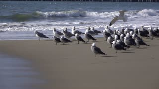 Seagull landing on beach in slow motion