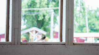 Small bird taking off from barn window slow motion