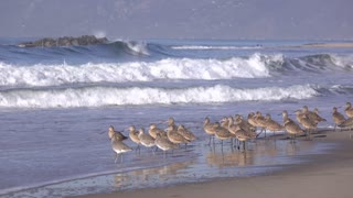 Surfer at Venice beach with board in hand walking by birds 4k
