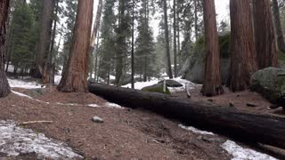 Vast forest area with giant Sequoia trees 4k