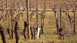 Vine branches growing onto training lines in vineyard 4k