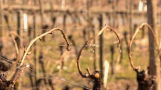 Vines growing on wire in vineyard 4k