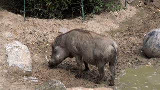 Warthog standing in mud 4k