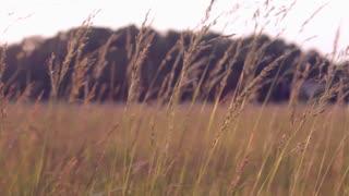 Wheat blowing in field of wind