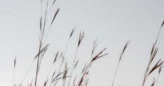 Wheat blowing on sky background 4k