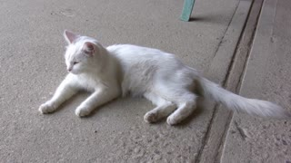 White Cat Laying on Pavement