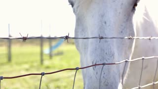 White horse behind barbwire fence