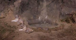 White tigers bathing in sunshine 4k