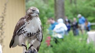 Wild hawk sitting on trainers arm