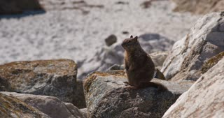 Wild squirrel sitting on rock 4k