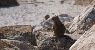 Wild squirrel sitting on rock 4k