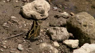 Yellow Butterfly Flapping Wings while on Rocks