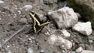 Yellow Butterfly Sitting on Rocks