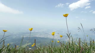 Yellow crocus flowers high on mountain top
