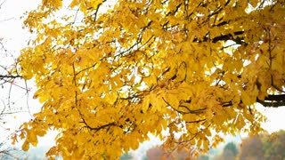 Yellow fall leaves on tree 4k