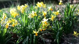 Yellow tulips in garden sunshine