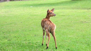 Young Antelope standing in green grass 4k