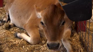Young cow laying indoors in cage chewing food 4k