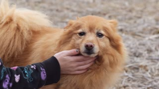 Young girl petting Pomeranian dog