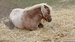 Young Horse sitting in hay outdoors