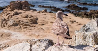 Young Seagull standing on rocks near ocean 4k.