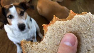 Yummy peanut butter and jelly sandwich in dog owners hand
