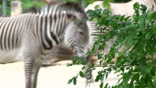 Zebra standing behind tree