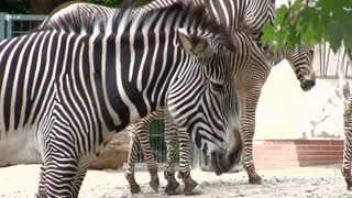 Zebra standing by tree