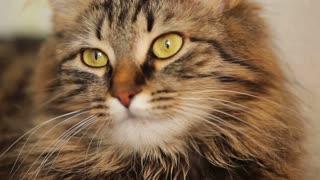 Cute domestic tabby cat close-up